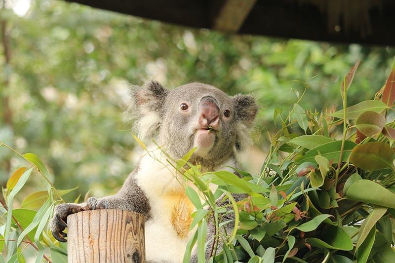 コアラの驚きの食生活