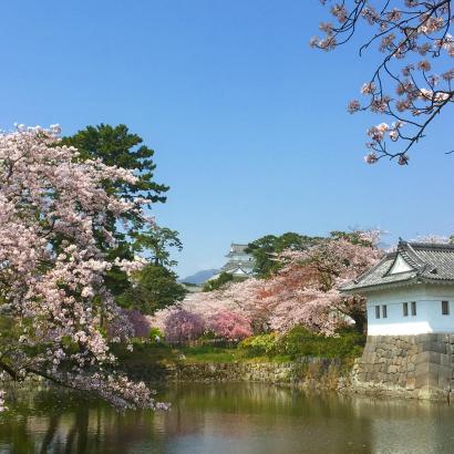 小田原城址公園は関東有数の桜の名所